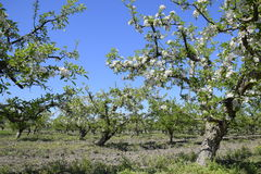 Blooming apple orchard. Adult trees bloom in the apple orchard. Fruit garden Stock Photography