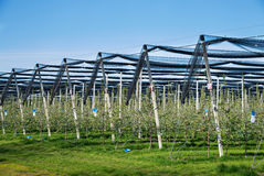 Blooming apple orchard in agricultural plantation, in summer sun with anti-hail netting for protection against weather factors. Fo. Od production and industry Stock Photo