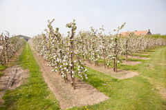 Blooming apple orchard and farm house Stock Photography
