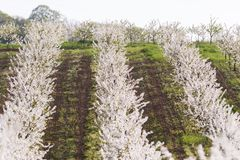 Blooming apple orchard field Stock Photography