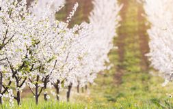 Blooming apple orchard field Royalty Free Stock Photo