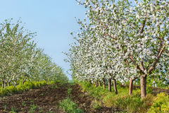 Blooming apple orchard in May evening Stock Photos