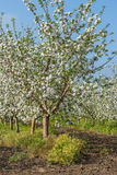 Blooming apple orchard in spring day. Blooming apple orchard at sunset in spring day Royalty Free Stock Photography