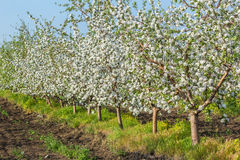 Blooming apple orchard in spring evening Stock Photography