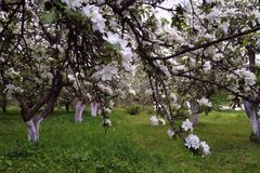 Blooming apple garden Royalty Free Stock Images