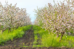Blooming apple orchard on a sunny May evening Stock Images