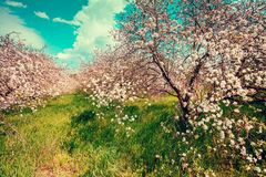 Blooming apple orchard on a sunny spring day Royalty Free Stock Images