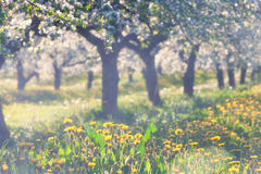 Blooming apple orchard with yellow dandelions in spring Royalty Free Stock Photo