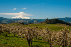Blooming apple orchards in the Hood River Valley, Oregon. Blooming apple orchards and Mount Hood, Hood River Valley, Oregon stock images