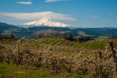 Blooming apple orchards in the Hood River Valley, Oregon. Blooming apple orchards and Mount Hood, Hood River Valley, Oregon royalty free stock photos