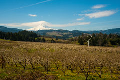 Blooming apple orchards in the Hood River Valley, Oregon. Blooming apple orchards and Mount Hood, Hood River Valley, Oregon stock photo