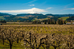 Blooming apple orchards in the Hood River Valley, Oregon. Blooming apple orchards and Mount Hood, Hood River Valley, Oregon stock image