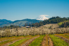 Blooming apple orchards in the Hood River Valley, Oregon Royalty Free Stock Image