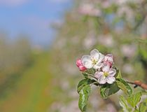 Blooming apple plantation. A young orchard of modern line-up on a spring sunny afternoon. A flower of an apple tree on a blurred b. Ackground. Agricultural land Royalty Free Stock Image