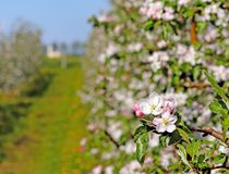 Blooming apple plantation. A young orchard of modern line-up on a spring sunny afternoon. A flower of an apple tree on a blurred b. Ackground. Agricultural land Stock Images