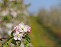 Blooming apple plantation. A young orchard of modern line-up on a spring sunny afternoon. A flower of an apple tree on a blurred b. Ackground. Agricultural land Royalty Free Stock Photography