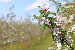 Blooming apple plantation. A young orchard of modern line-up on a spring sunny afternoon. A flower of an apple tree on a blurred b. Ackground. Agricultural land Royalty Free Stock Photo