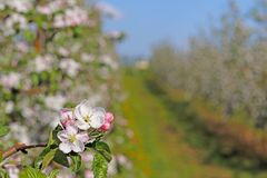 Blooming apple plantation. A young orchard of modern line-up on a spring sunny afternoon. A flower of an apple tree on a blurred b. Ackground. Agricultural land Stock Photography
