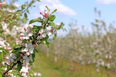 Blooming apple plantation. A young orchard of modern line-up on a spring sunny afternoon. A flower of an apple tree on a blurred b. Ackground. Agricultural land Stock Image