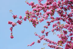 Blooming apple-tree Royalty Free Stock Photography