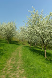 Blooming apple tree. The path in the middle of the park with blooming apple trees Royalty Free Stock Photography