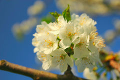 Blooming apple-tree. Bright white an apple-tree flower Stock Image