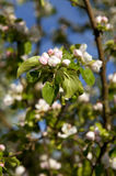 Blooming apple tree Royalty Free Stock Images