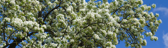Free Blooming Apple Tree Royalty Free Stock Photography - 30981727