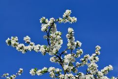 Free Blooming Apple Tree Royalty Free Stock Photography - 55439337