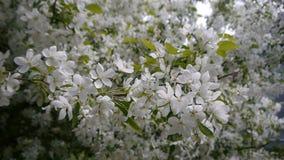 Blooming apple tree stock video footage