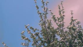 Blooming apple. Tree against blue sky stock video