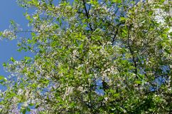 A blooming apple tree against a blue sky. Awakening of nature. The concept of spring stock images