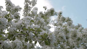 Blooming apple tree against the blue sky. Blossom of apple tree against blue sky background. Blooming twig waving in light wind in foreground stock video
