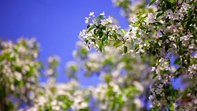 Blooming apple tree against the clear blue sky stock video