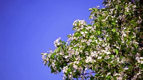 Blooming apple tree against the clear blue sky stock video footage