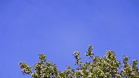 Blooming Apple tree against the clear blue sky stock footage
