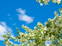 Blooming apple tree background. Blooming spring apple tree flower against blue sky and white cloud Royalty Free Stock Photography