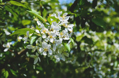 Blooming apple tree on a background royalty free stock photography