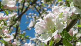 Blooming apple tree with big flowers 2 stock footage