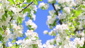 Blooming apple tree. Branch close up view spring background stock footage