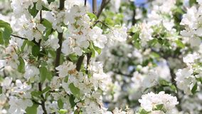 Blooming apple tree. Branch close up view spring background stock video