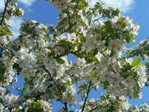 Blooming apple tree. With blue sky Stock Image