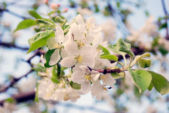 Blooming apple tree. Stock Photo