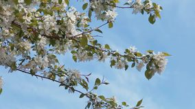 Blooming apple tree on the blue sky. In spring in Russia stock video footage
