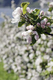 The blooming apple tree. On the  blured backgound of blossom stock photo