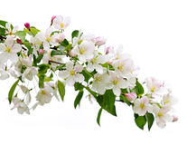 Blooming apple tree branch Stock Photo