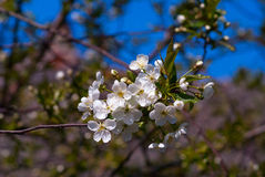 Blooming apple-tree. A branch of a blooming apple-tree Stock Images