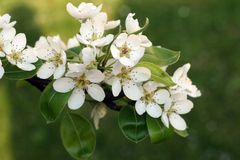 Blooming apple-tree branch. With green background stock photography