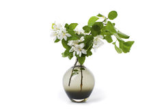Blooming apple tree branch in a black glass vase. Stock Photography