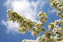 Blooming apple tree branch on blue sky background Royalty Free Stock Photos